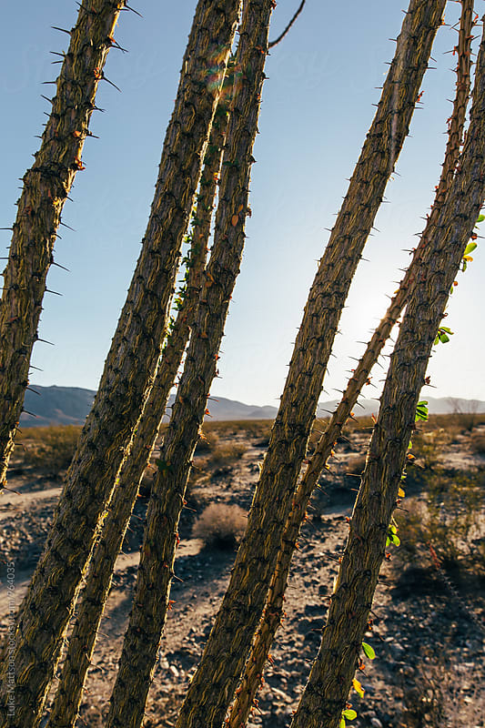 Close Up Of Ocotillo Plant Branches In Joshua Tree National Park by Luke Mattson for Stocksy United