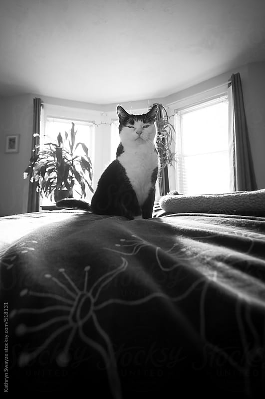 Black and white cat sits proudly atop the bed by Kathryn Swayze for Stocksy United