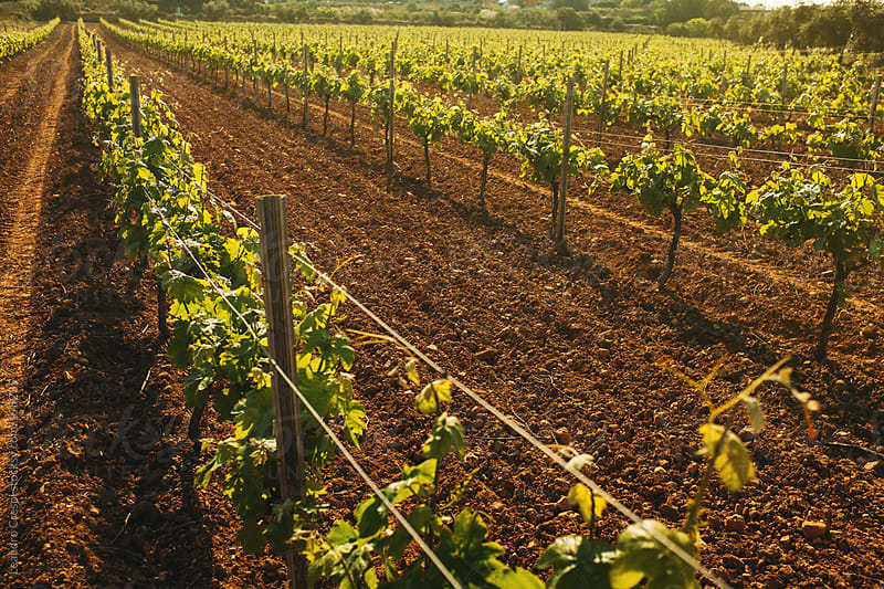Vineyard growing on spring season by Leandro Crespi for Stocksy United