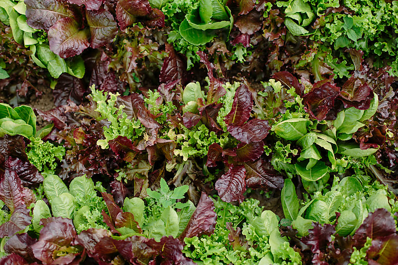 Organic Lettuce by Raymond Forbes LLC for Stocksy United