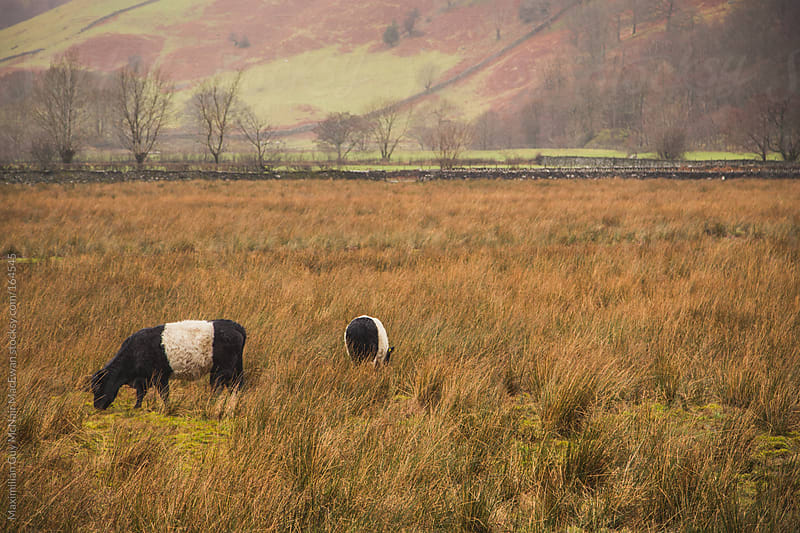 Cattle in a Autumnal field. by Maximilian Guy McNair MacEwan for Stocksy United