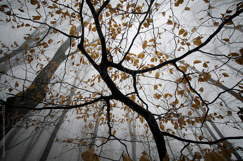 orange leafs on tree branches in autumn forest with fog by Cosma Andrei for Stocksy United