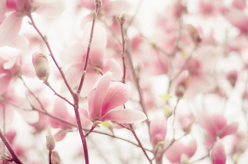 Pastel Pink Magnolia Blossoms in Spring by Deirdre Malfatto for Stocksy United