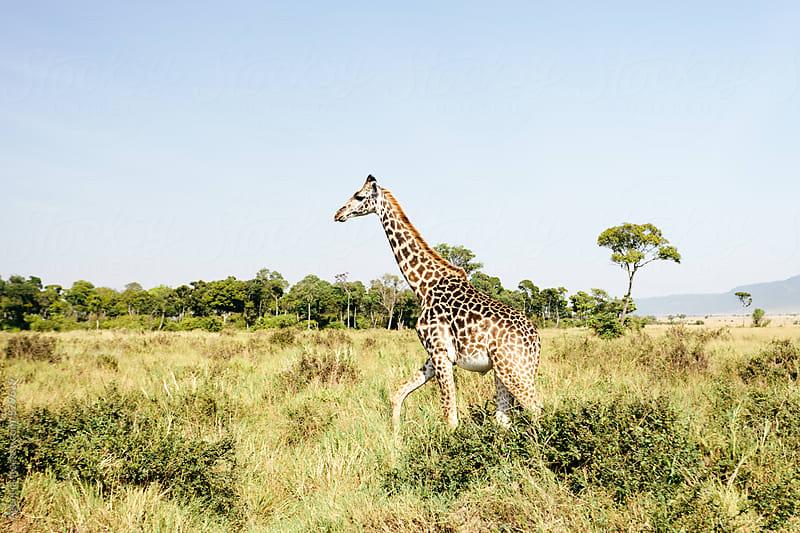 African Giraffe by Agencia for Stocksy United
