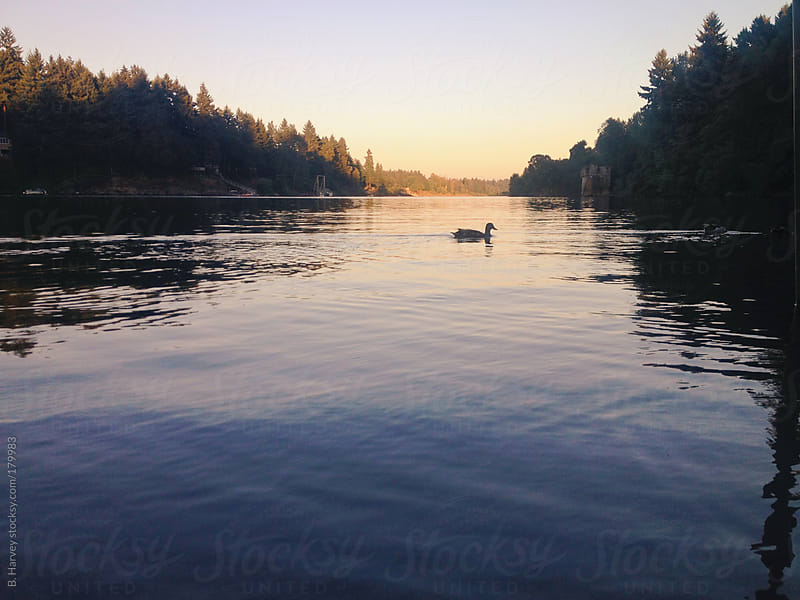 A duck floating on the lake at sunset by B. Harvey for Stocksy United