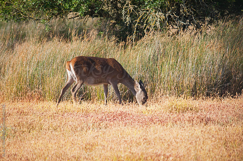 Deer grazing by ACALU Studio for Stocksy United