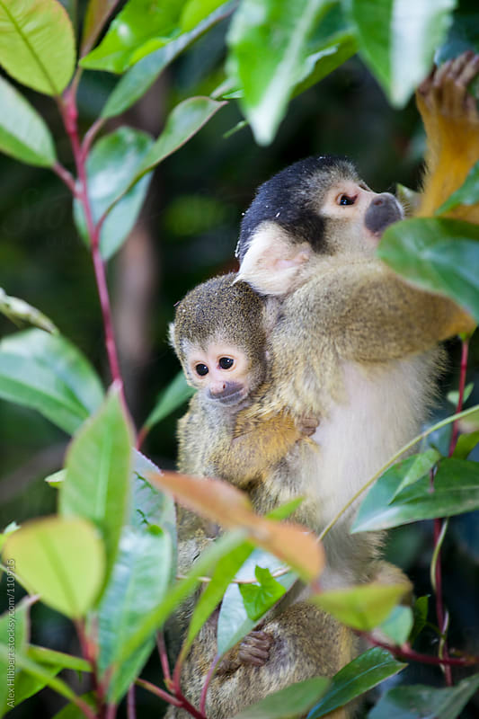 Squirrel Monkey by Alex Hibbert for Stocksy United