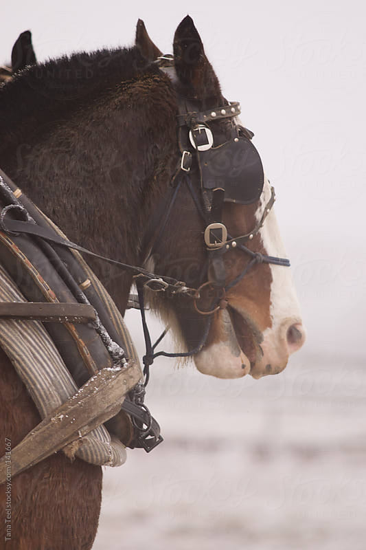 A draft horse stands ready to pull by Tana Teel for Stocksy United