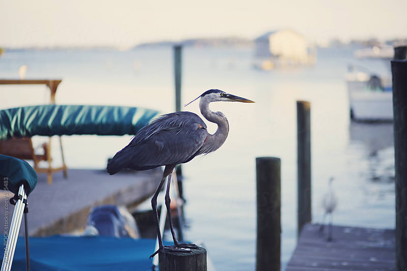 Heron On The Dock by ALICIA BOCK for Stocksy United
