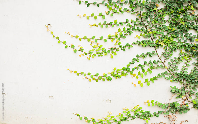 Green Vine Climbing on White Wall of Building by Lawren Lu for Stocksy United