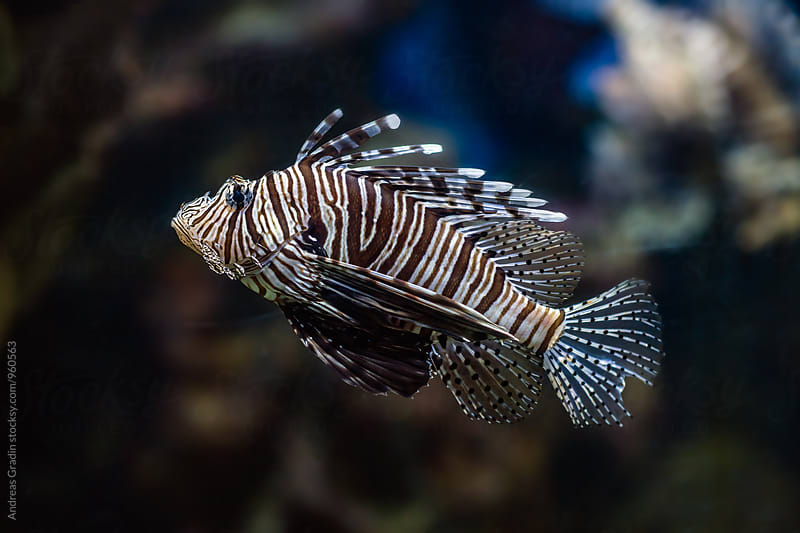 lionfish by Andreas Gradin for Stocksy United