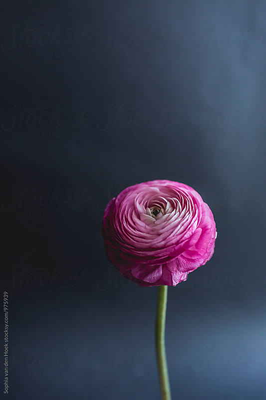 ranunculus by Sophia van den Hoek for Stocksy United