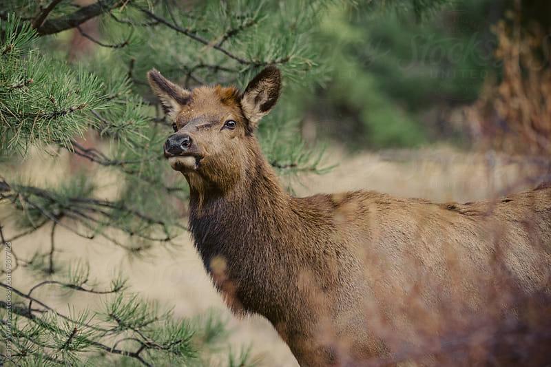 Female elk by Chris Werner for Stocksy United