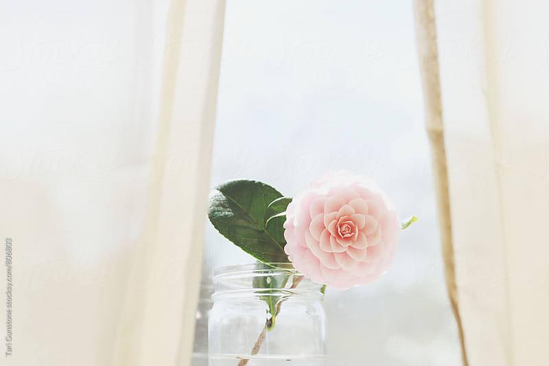 Pink camellia flower in vase jar by Tari Gunstone for Stocksy United