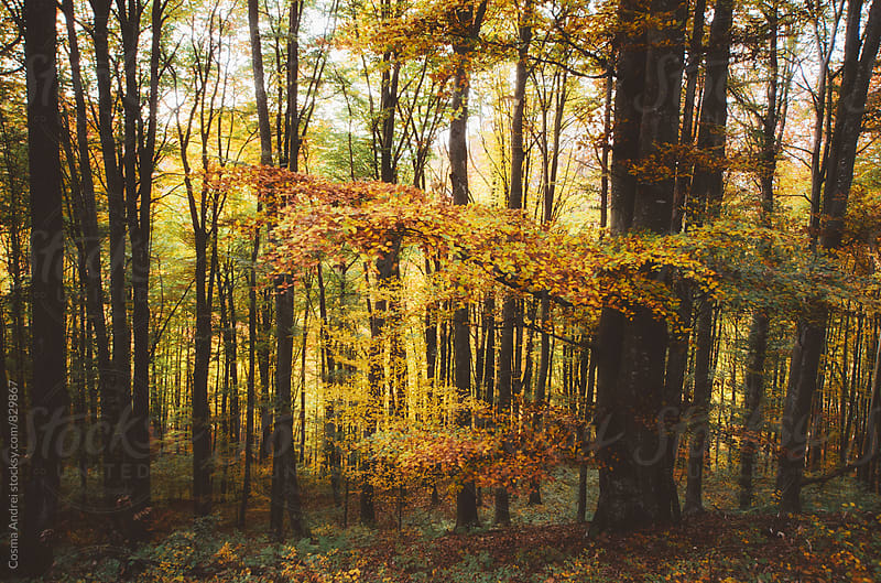 Autumn forest with colorful foliage by Cosma Andrei for Stocksy United