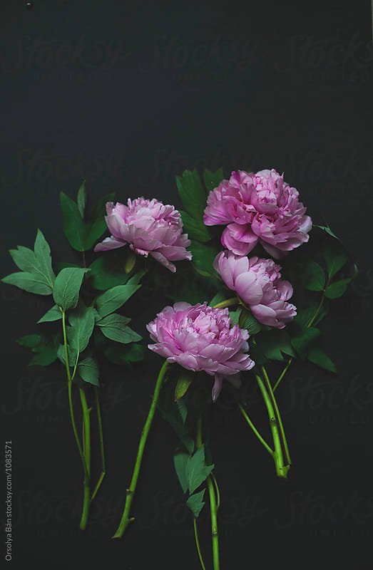 Peony flowers by Orsolya Bán for Stocksy United
