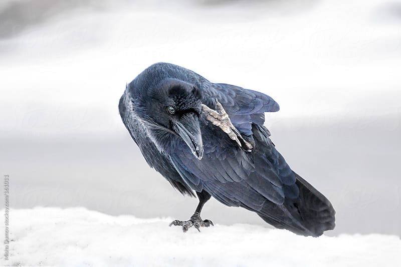 Wild adult raven scratching while standing on a snow bank by Mihael Blikshteyn for Stocksy United