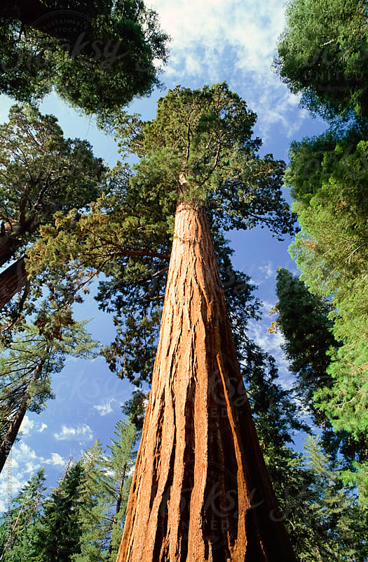 Giant sequoia tree, Sequoia National Park, California, USA, North America by Gavin Hellier for Stocksy United