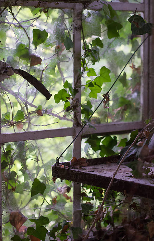 The ivy-covered window of a derelict greenhouse by Helen Rushbrook for Stocksy United