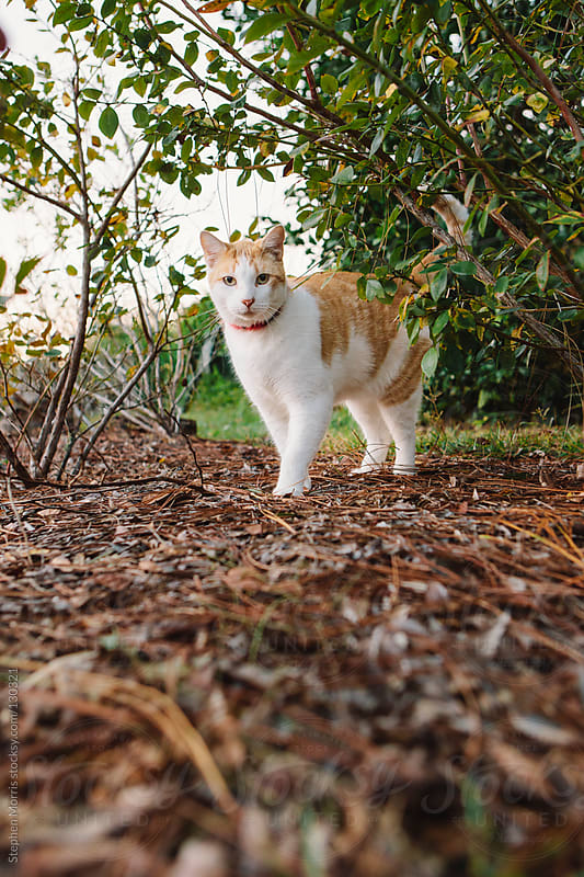 Cat standing in the bushes by Stephen Morris for Stocksy United