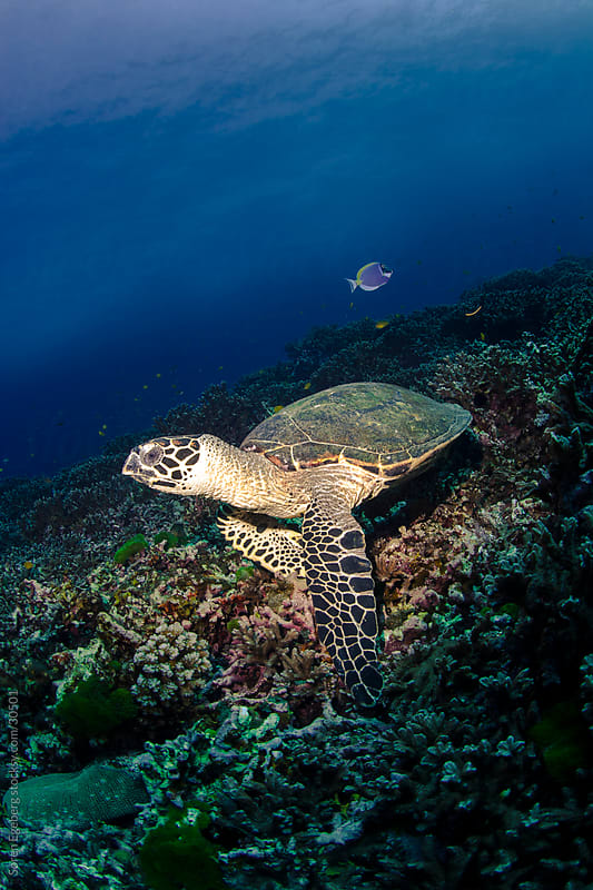 Sea turtle swimming underwater over coral reef in ocean by Soren Egeberg for Stocksy United