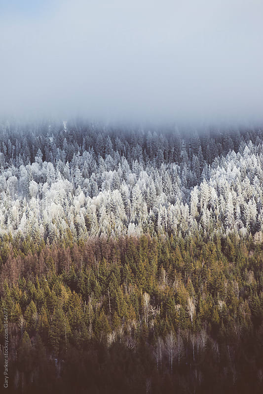 A pine forrest showing the colours of winter with three layers. by Gary Parker for Stocksy United