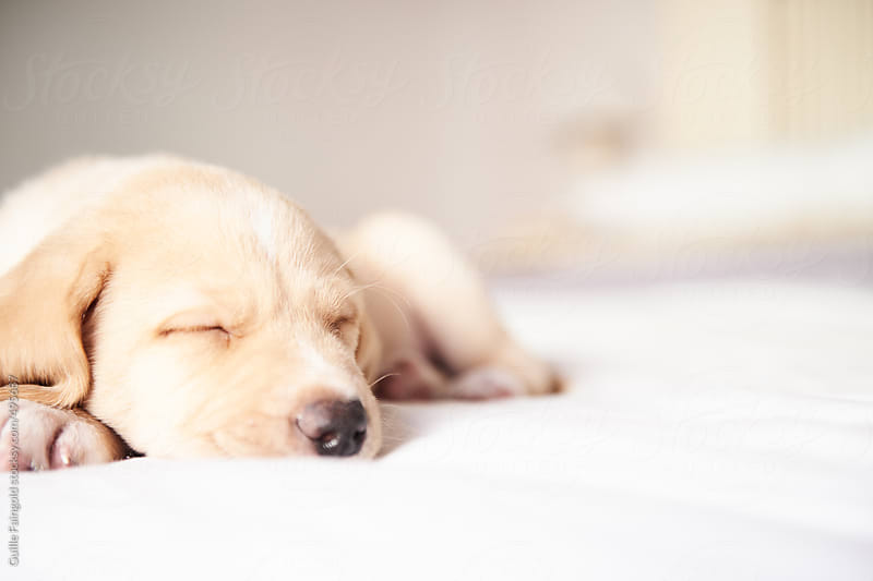 labrador retriever sleeping in a bed by Guille Faingold for Stocksy United