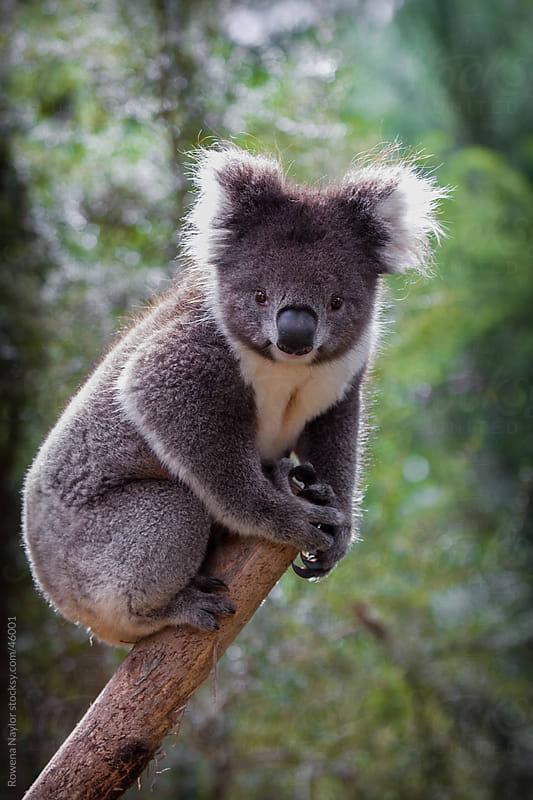 Australian Koala in Natural habitat by Rowena Naylor for Stocksy United