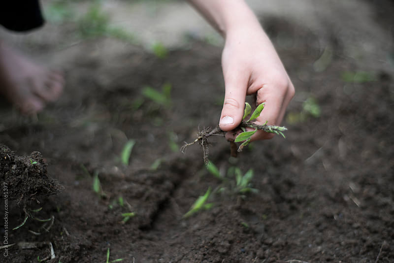 Child's hand pulling weeds from soil, readying it for a garden by Cara Dolan for Stocksy United