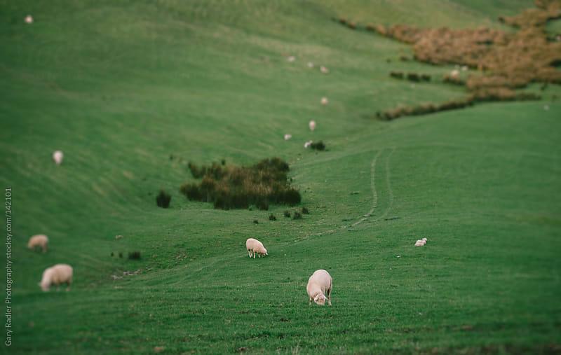 Sheep grazing by Gary Radler Photography for Stocksy United