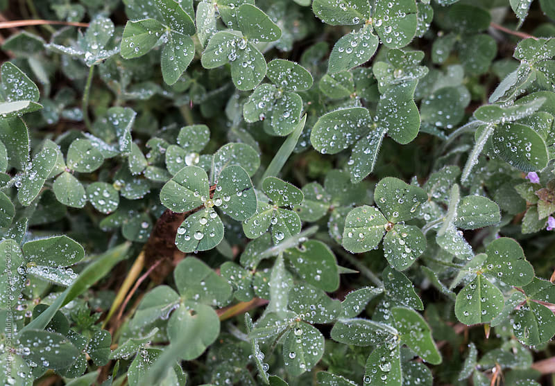 Clovers and natural vegetation with dew by Matthew Spaulding for Stocksy United