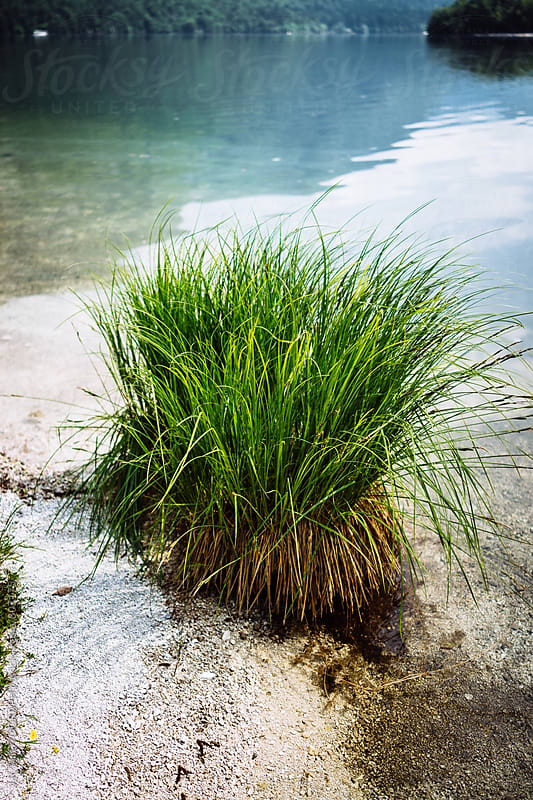 Grass growing on edge of lake by J.R. PHOTOGRAPHY for Stocksy United