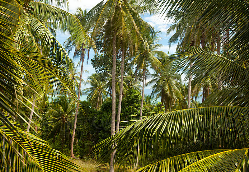 Coconut Palms on Koh Phangan Island, Thailand by Goldmund Lukic for Stocksy United