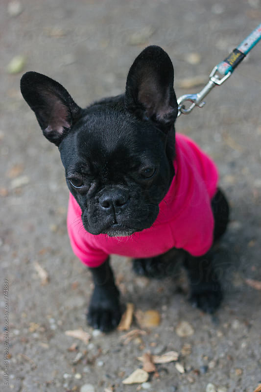 French bulldog in pink jumper outdoor by Branislava Živić for Stocksy United