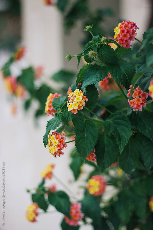 Detail of tiny red and yellow flowers growing in greece garden by Evil Pixels  Photography for Stocksy United