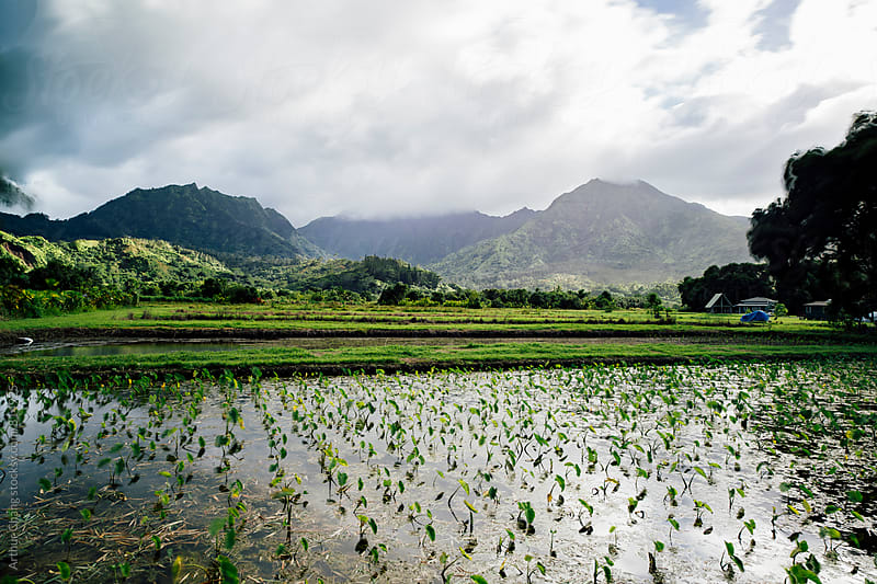 Taro Field by Arthur Chang for Stocksy United