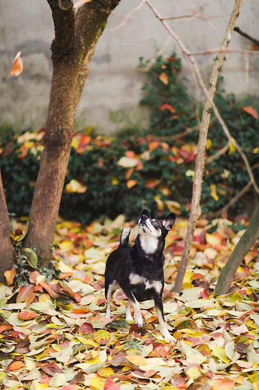 Little dog tries to seize flying falling leaves in autumnal garden by Laura Stolfi for Stocksy United