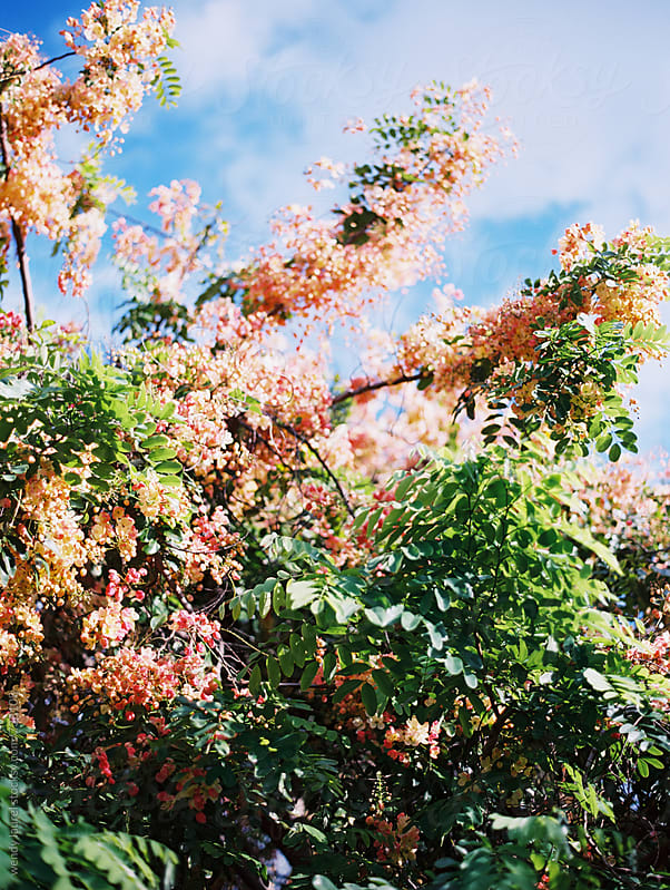 rainbow shower tree in hawaii against blue sky by wendy laurel for Stocksy United