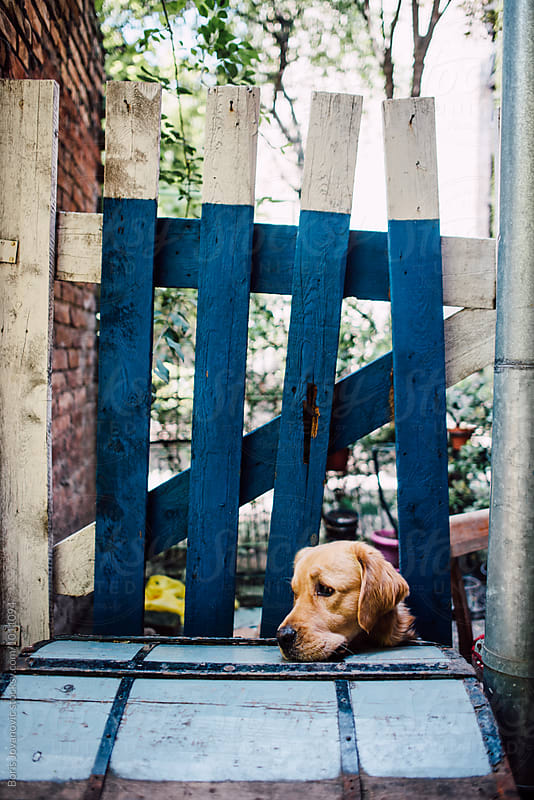 Dog looking through the wooden fence by Boris Jovanovic for Stocksy United