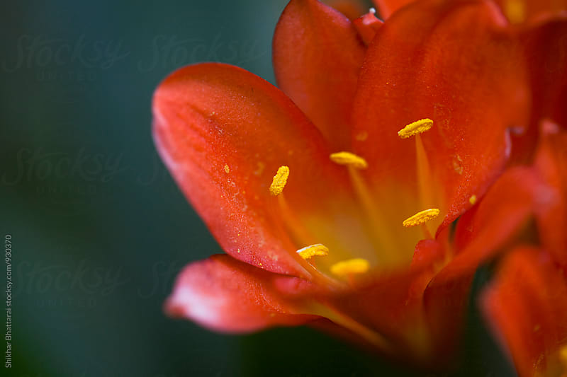 Close up of flower petal of lily. by Shikhar Bhattarai for Stocksy United