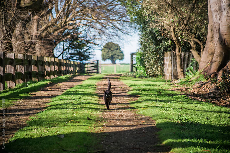 Burmese cat strolling along driving of Country Homestead by Rowena Naylor for Stocksy United