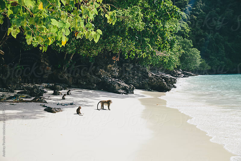 Group of monkeys on beach by Andrey Pavlov for Stocksy United