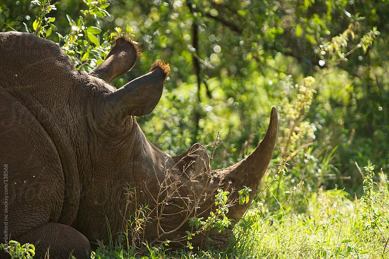 Sleeping White Rhino by aaronbelford inc for Stocksy United