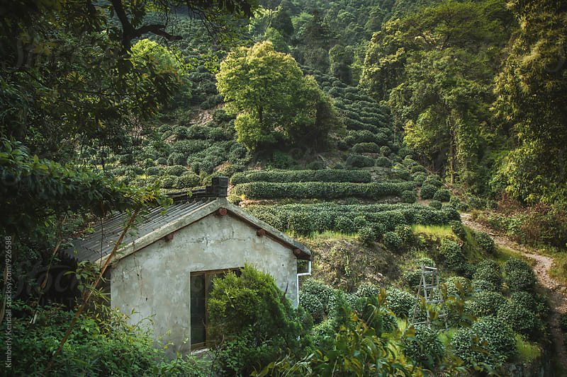 Tea fields above Longjing Village by Kimberly Kendall for Stocksy United