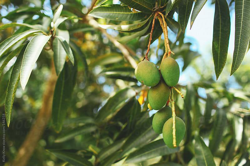 mango tree by Kelly Knox for Stocksy United