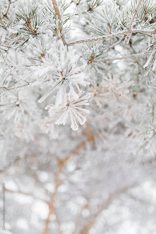 Snow and frost covered tree in winter by Carey Shaw for Stocksy United
