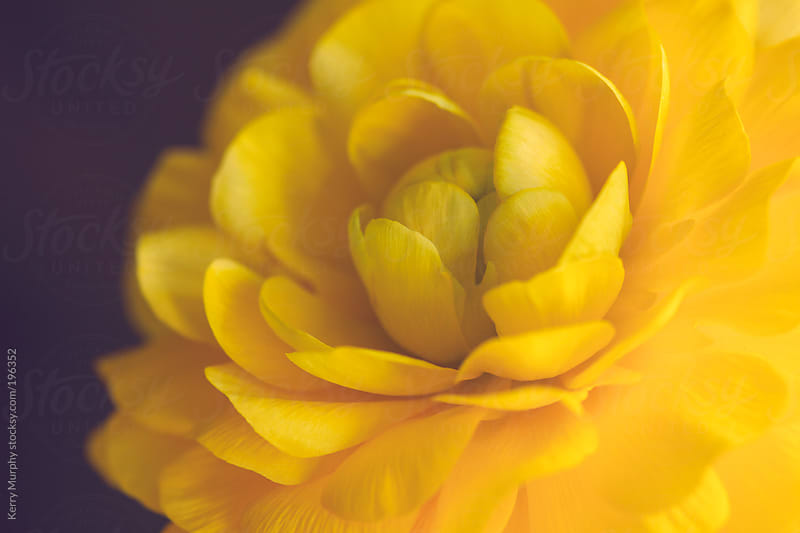 Macro of single yellow ranunculus flower by Kerry Murphy for Stocksy United