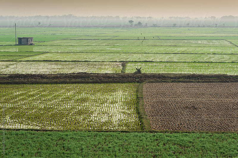 A view of rural area paddy field ready for harvest by Gabriel Diaz for Stocksy United