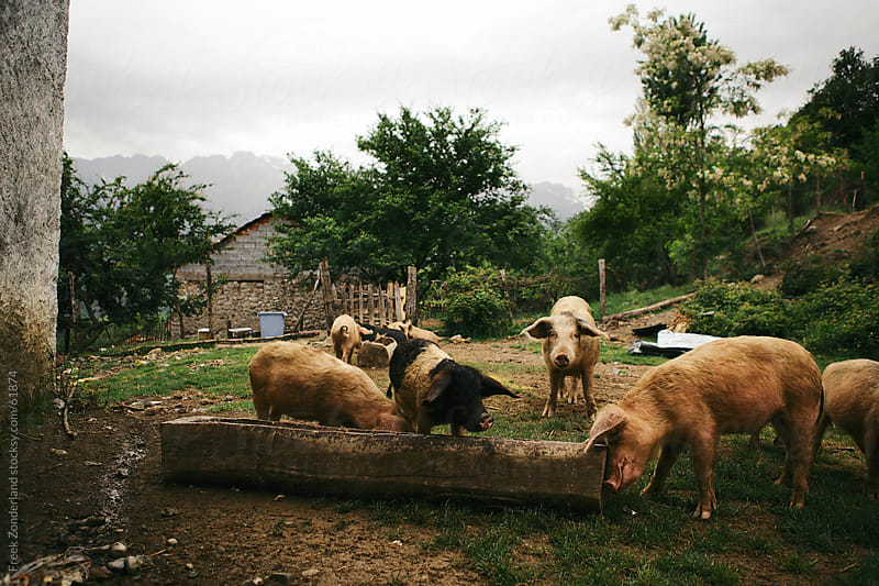 Pigs eating in Albania by Freek Zonderland for Stocksy United