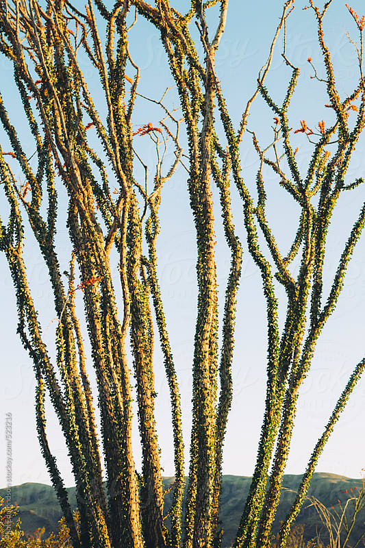 Blooming ocotillo cactus at dawn, Joshua Tree National Park, CA, USA by Paul Edmondson for Stocksy United